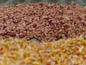 Harvest of peanuts and corn