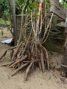 Manioc harvest