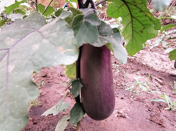 Eggplant from orphans' garden.