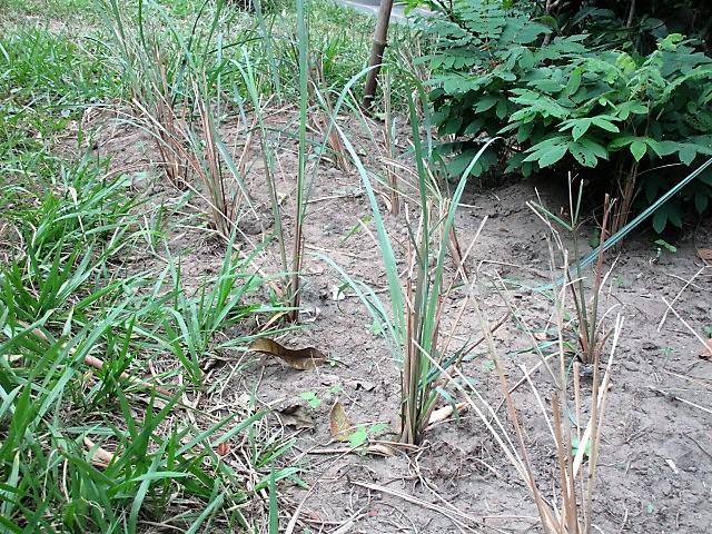 Citronella plants growing.